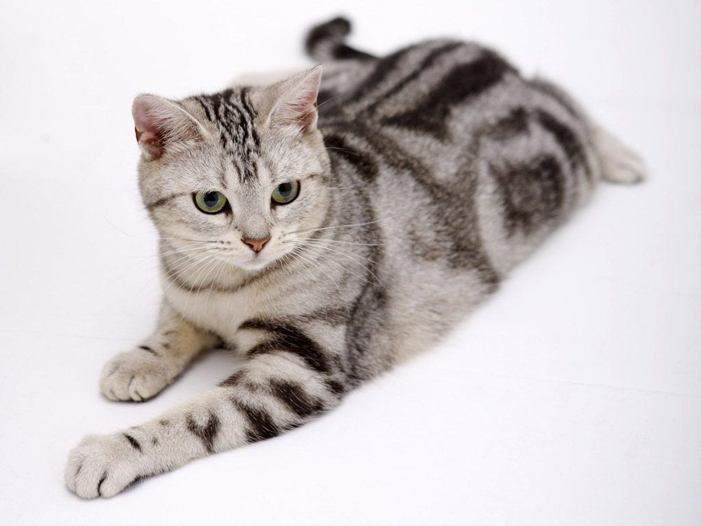American-Wirehair-grey cat 25