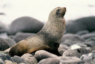 Antarctic Fur Seals 01
