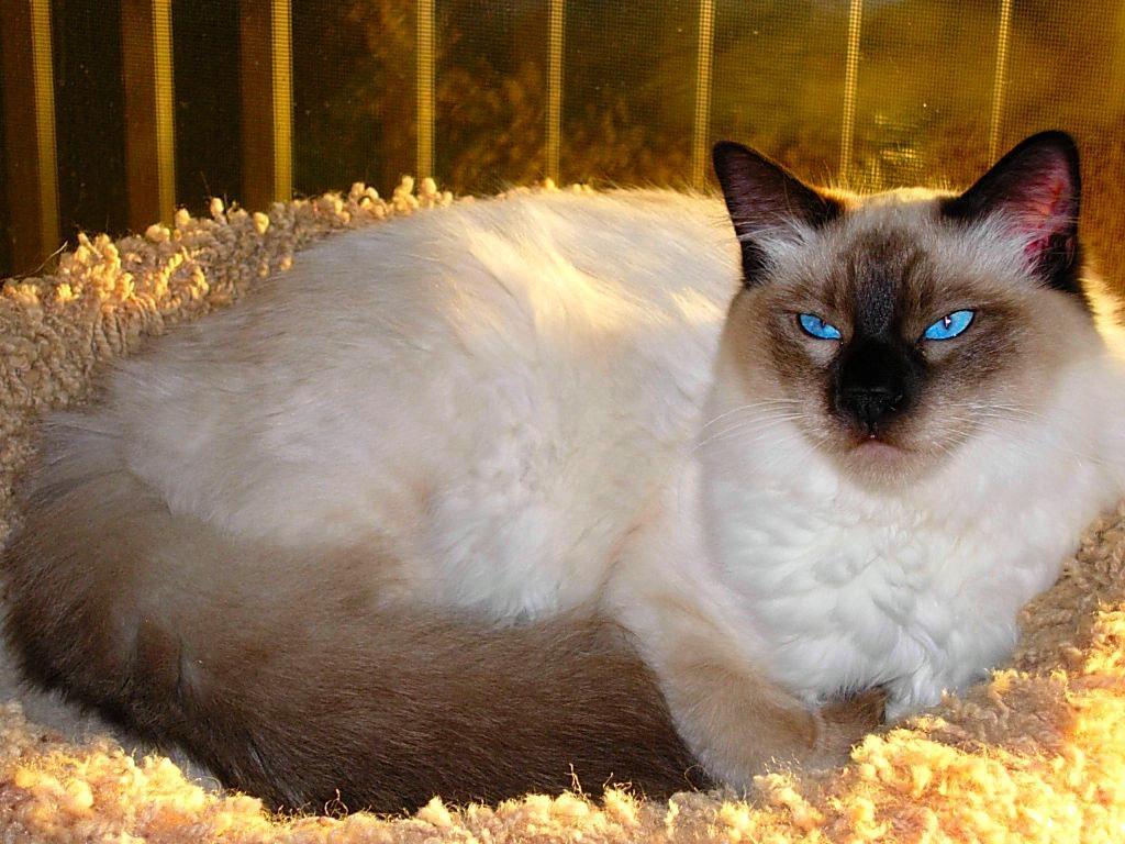 Balinese.white cat