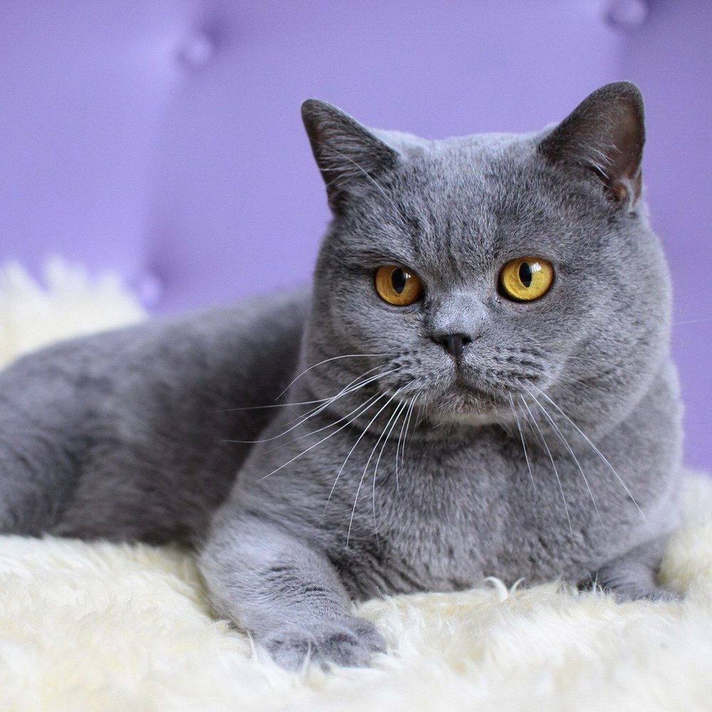 British-Shorthair-grey cat