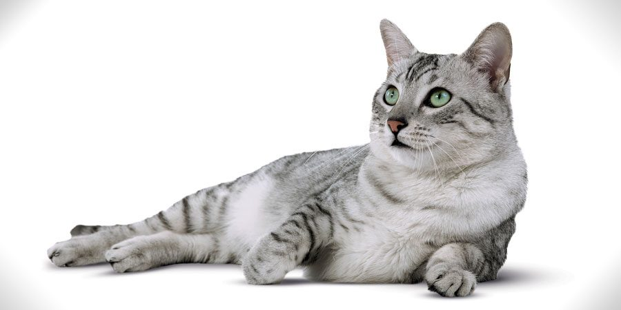 Egyptian-Mau grey cat