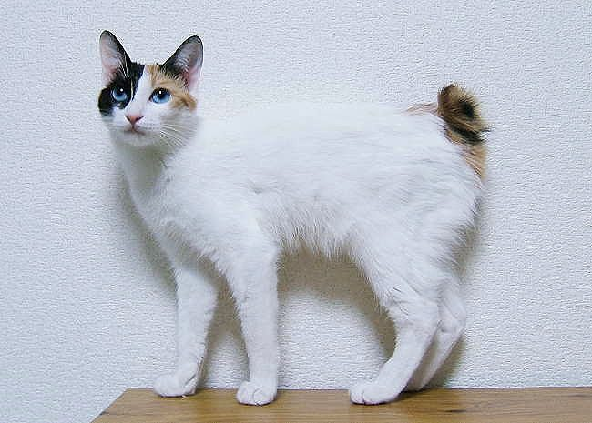 JapaneseBobtail White Cats Breed