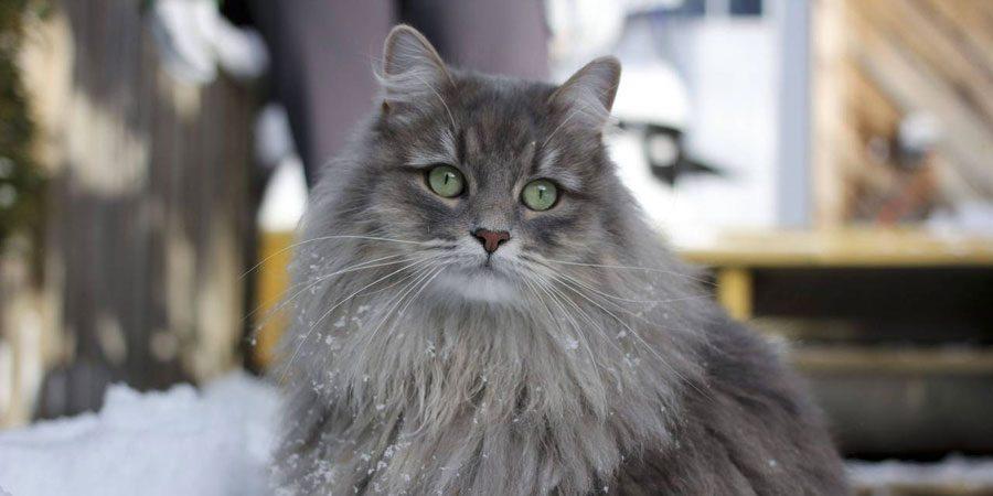 Siberian grey cat