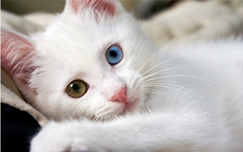 Van_kedisi.jpg-white cats