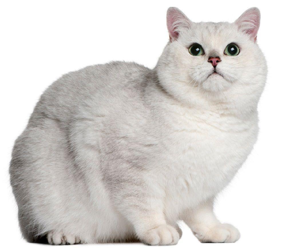 british cat 2
