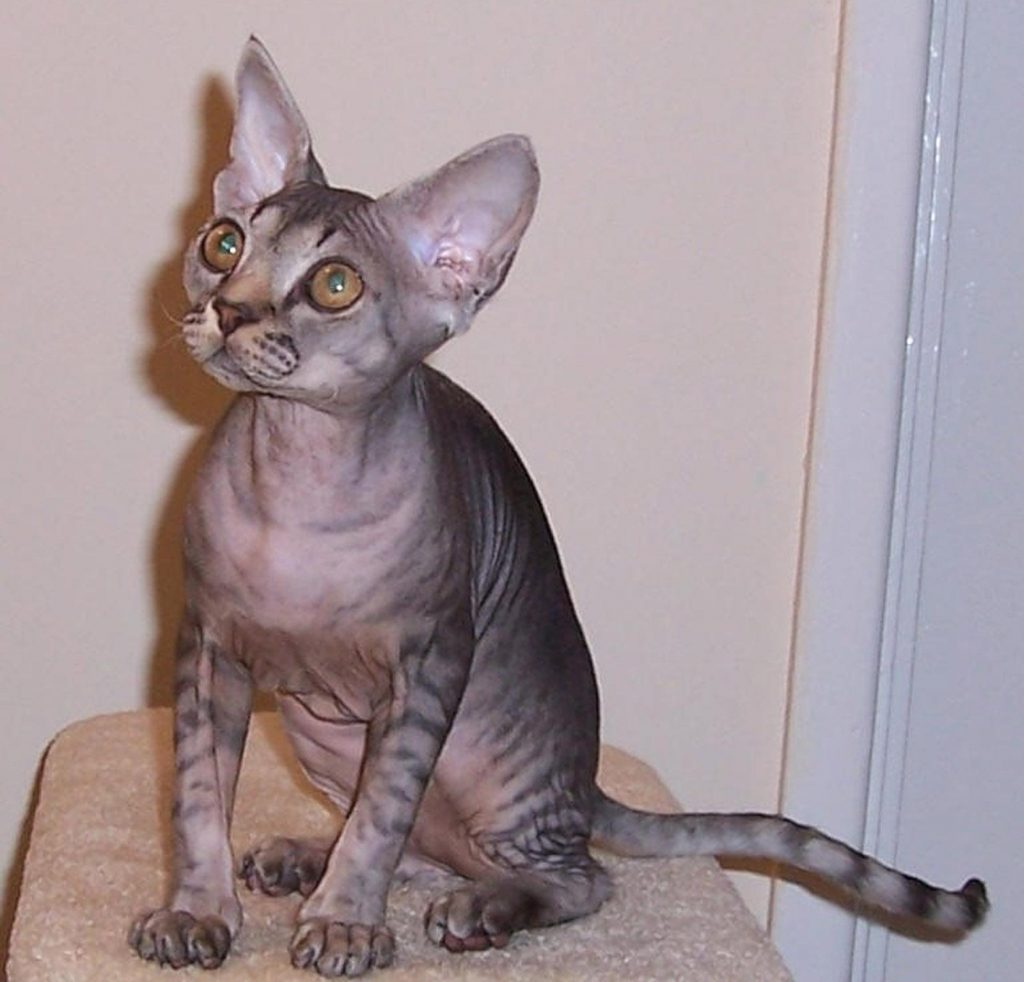 devon-rex-cat grey 12