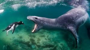 leopard seals 1