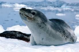 leopard seals 3