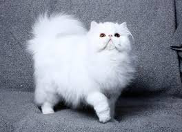 persian cat White Cats Breed