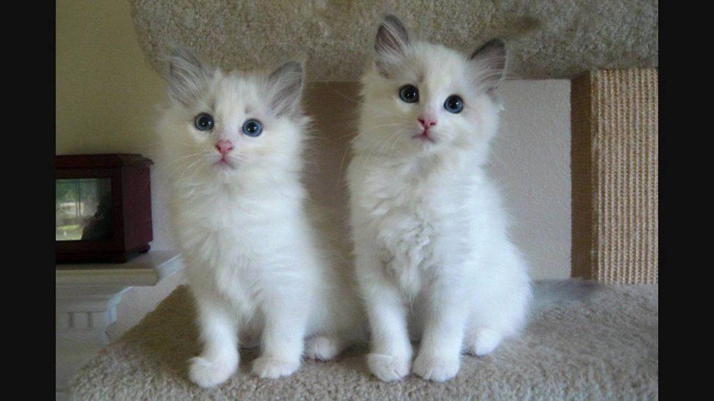 ragdol cat White Cats Breeds