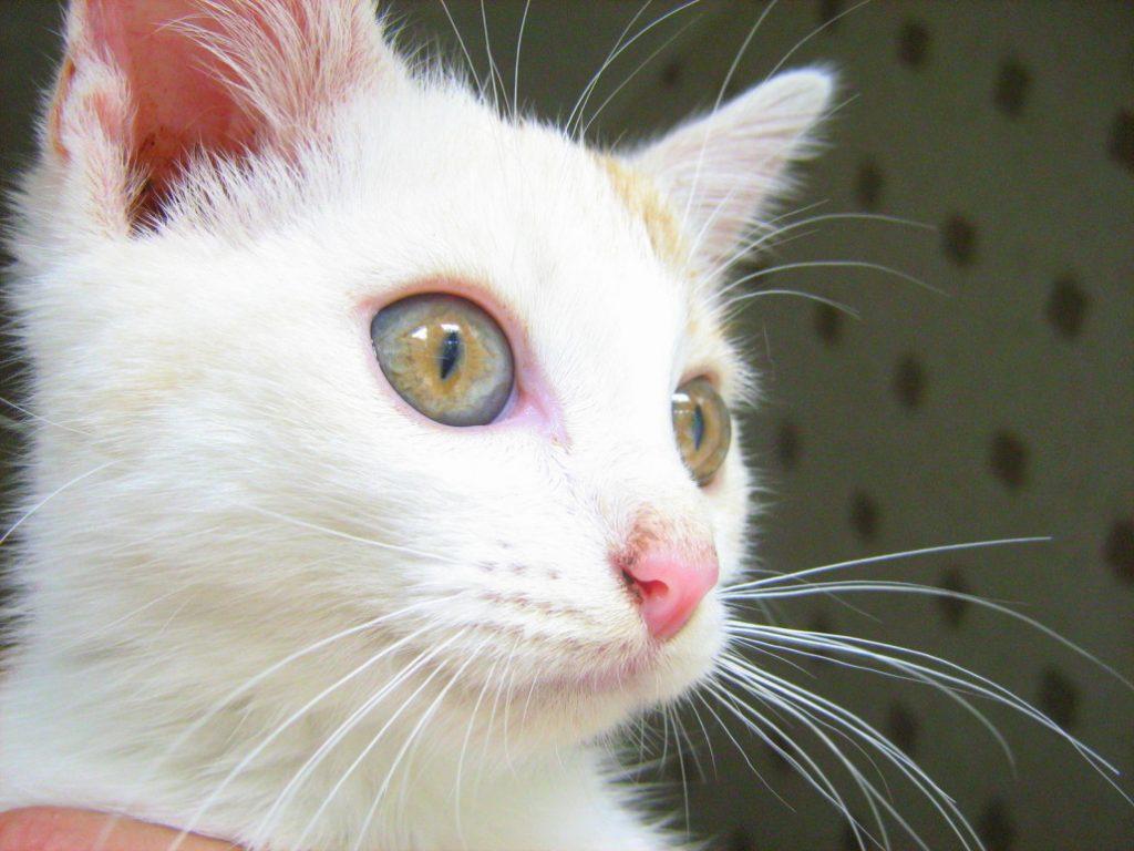russian white cat 2