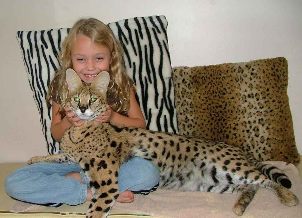 Photo of Best 7 Tips Before Buying Savannah Cat That You Should Read This Year