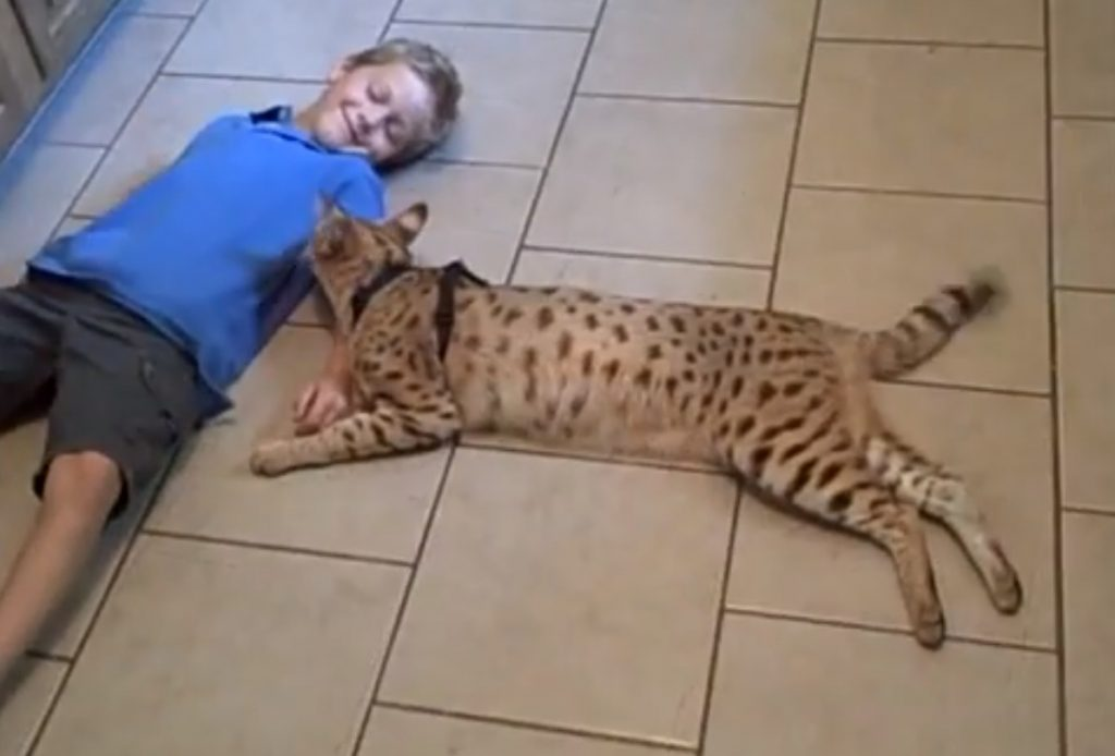 Best 7 Tips Before Buying Savannah Cat That You Should Read