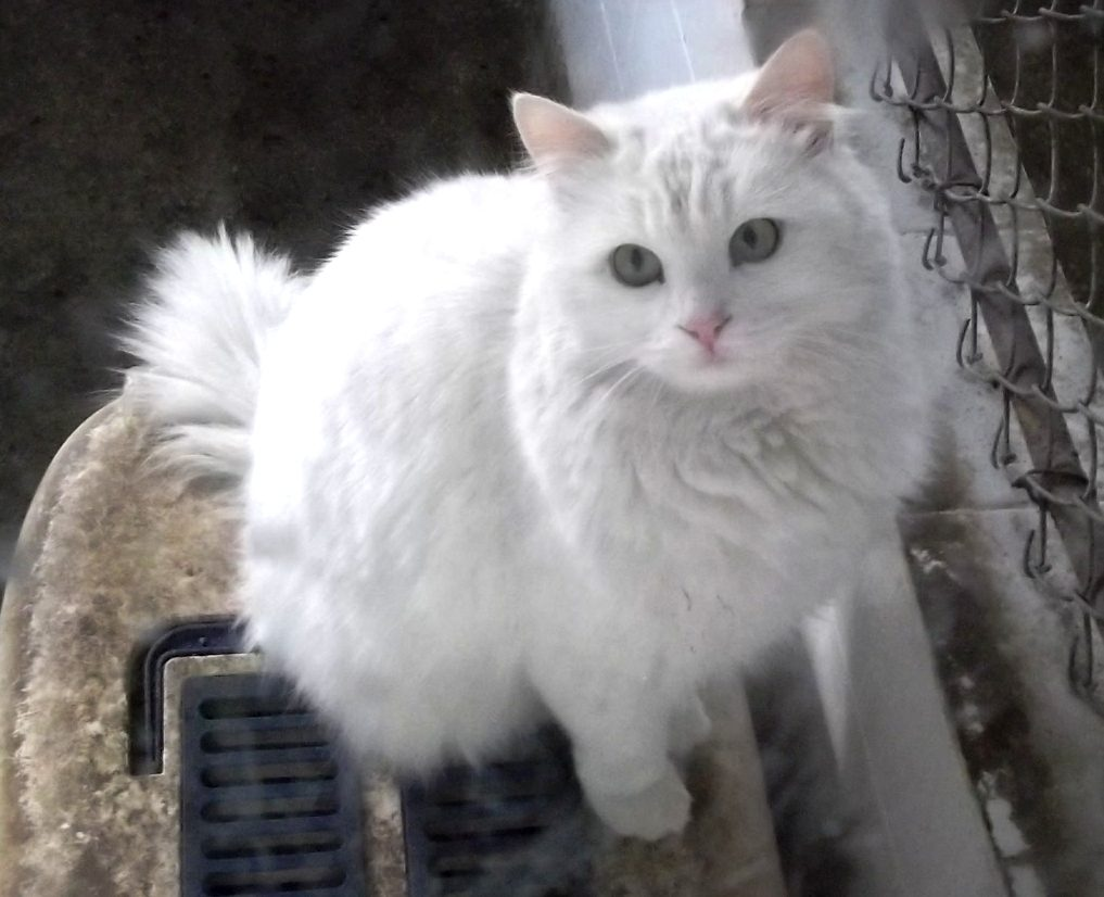 turkish angora 01
