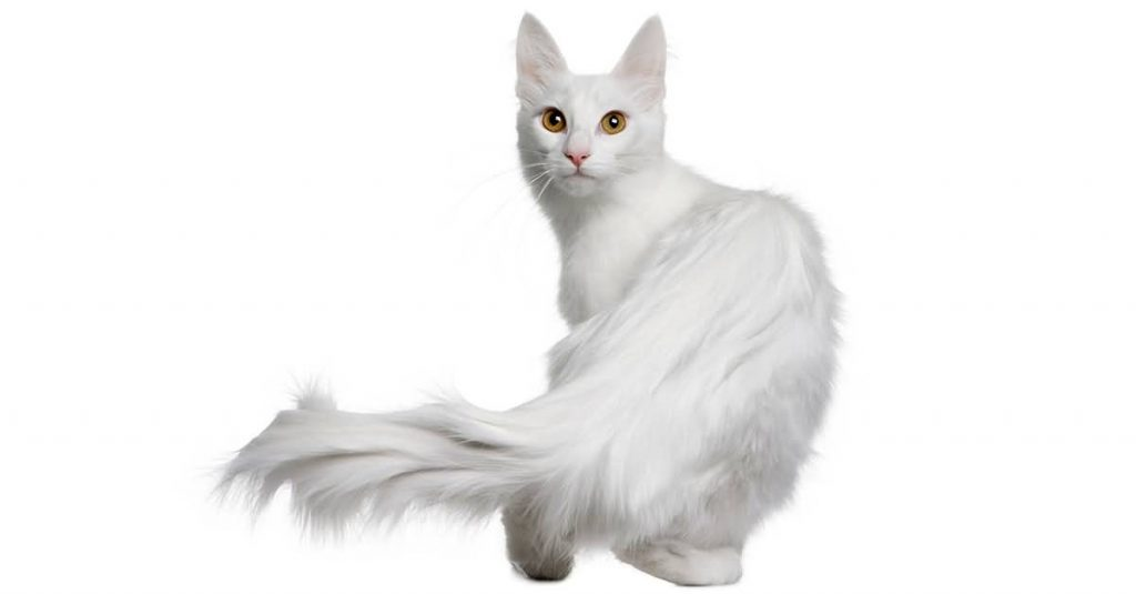 turkish angora cat 02
