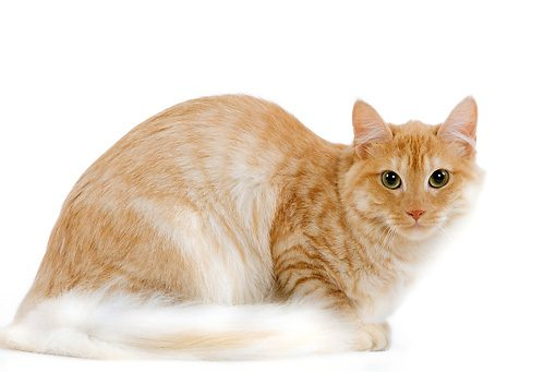 turkish angora cat 08