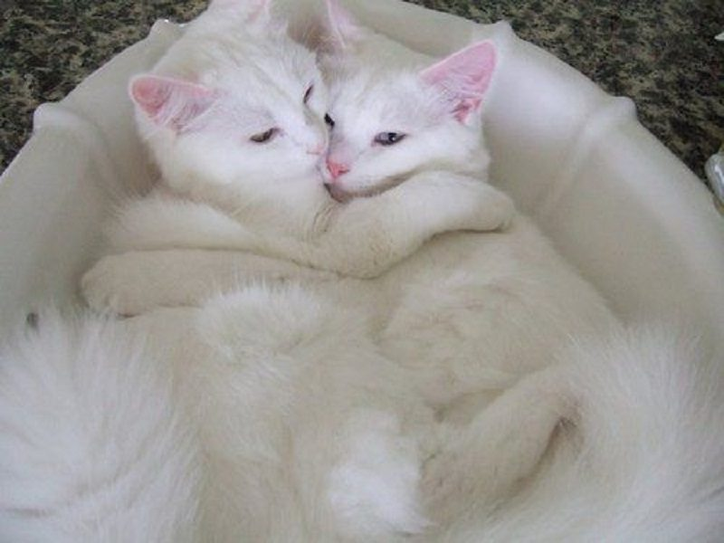 Photo of 11 Best White Cats Breeds That Interest Everybody