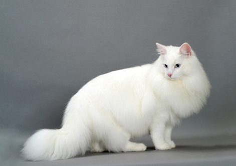 white norwegia cat