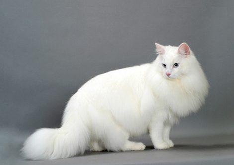 white norwegia cat