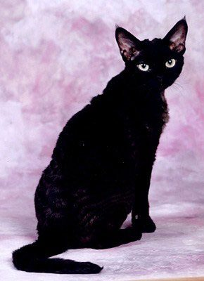 Black-Devon-Rex-Cat-014