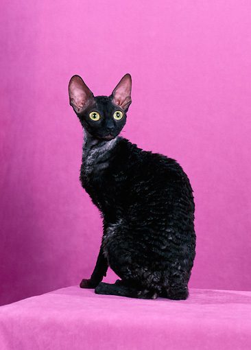 Cornish-Rex-Black-Cat-0123