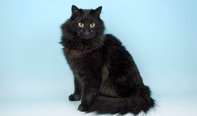 Norwegian Forest black Cat