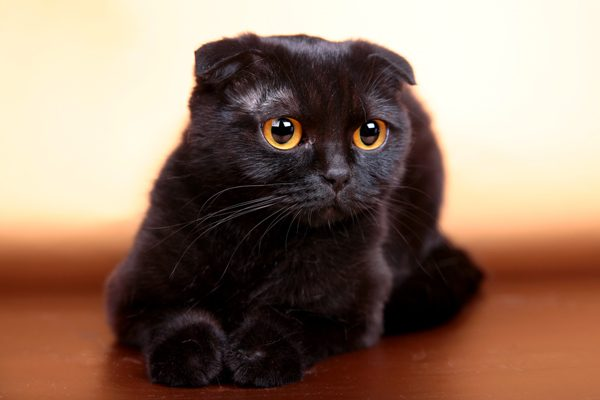Scottish Fold-black cat 02