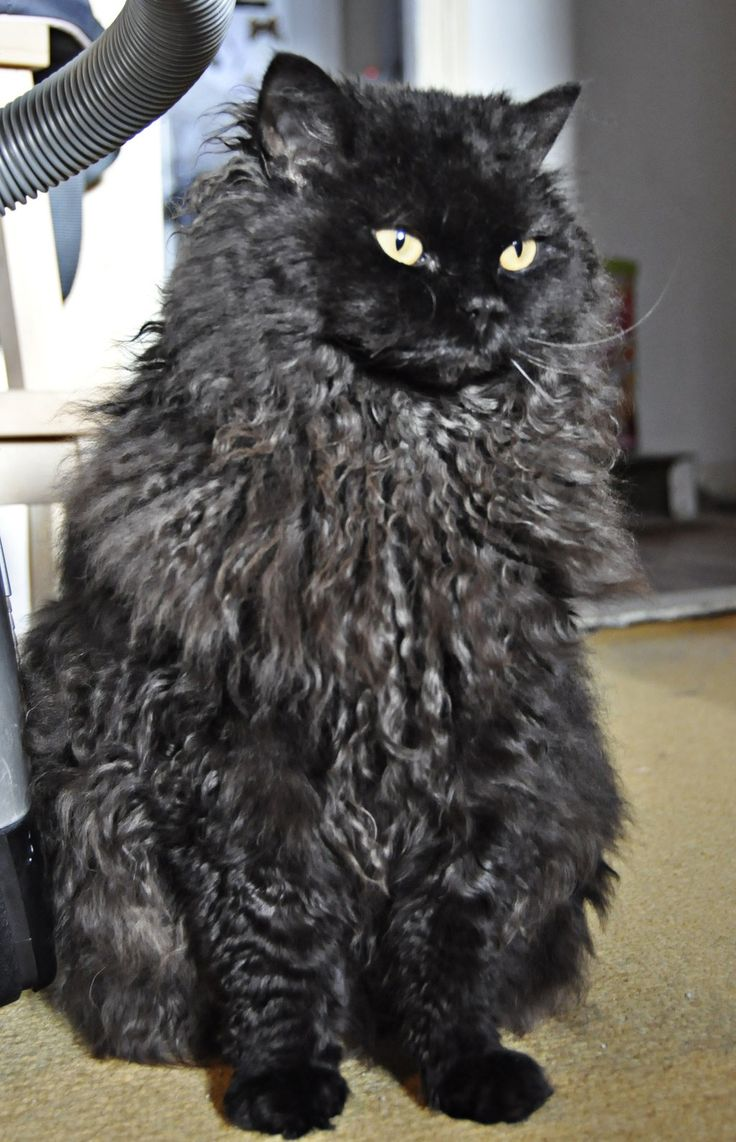 Selkirk Rex black cat