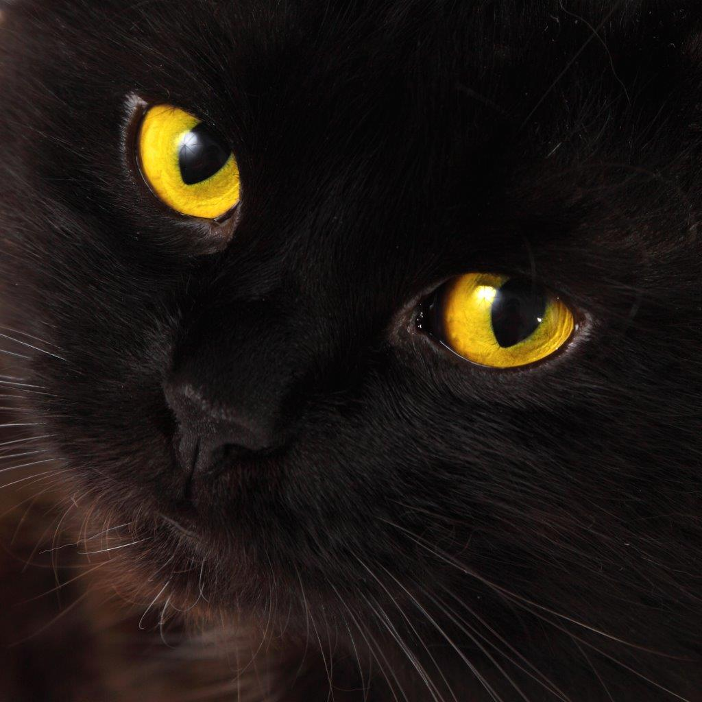 Photo of The Unexposed Secret of Black Cats Breeds