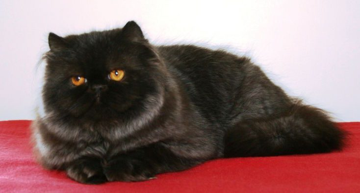 black-persian-cat-0896