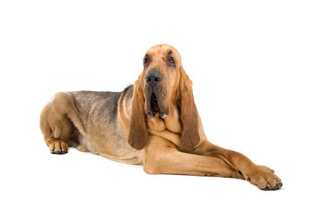 bloodhound-05