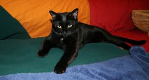 bombay black cat 012