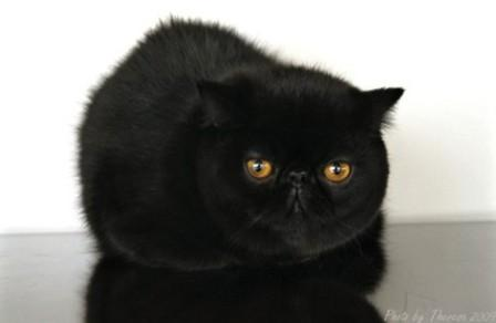 exotic-shorthair-black cat 012