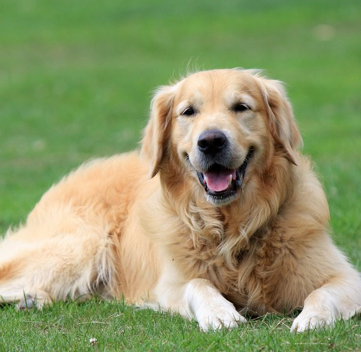 golden-retriever-045