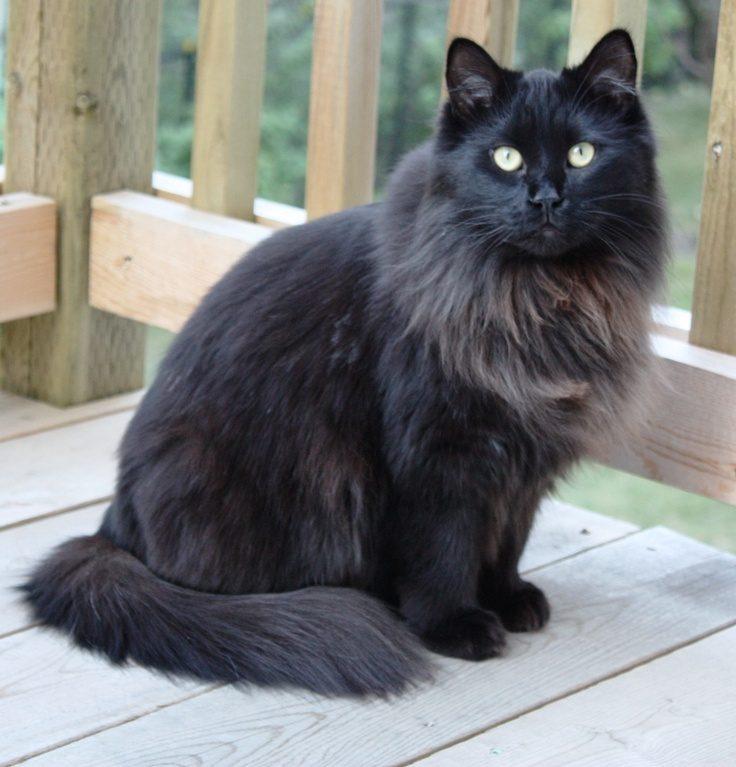 maniecoonblack cat 012