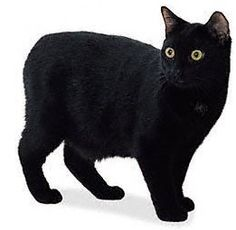 manx black cat
