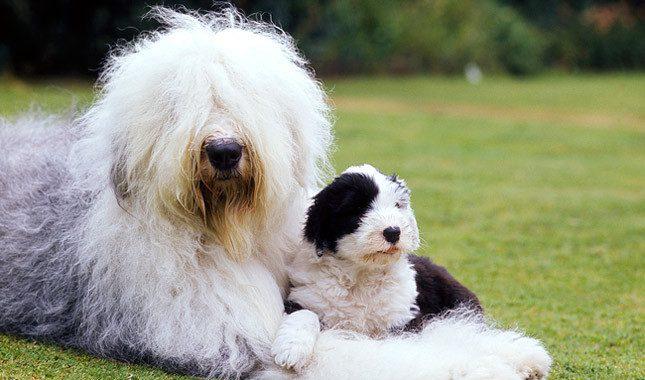 old-english-sheep-dog-03