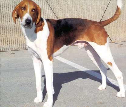 americanfoxhound-089