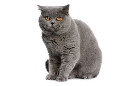 british-shorthair-grey-cat-jpg08