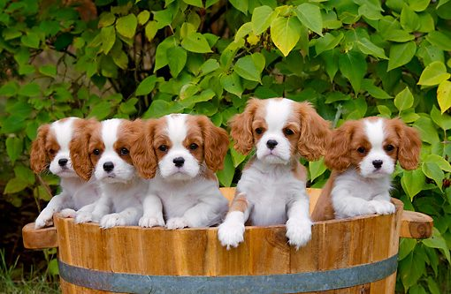 cavalier-king-charles-spaniel-puppies-052