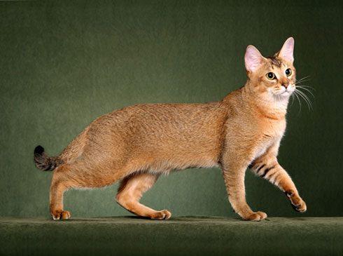 chausie-cat-025