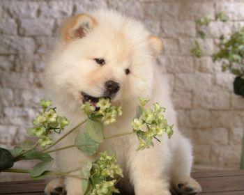 chow_chow_dog-078