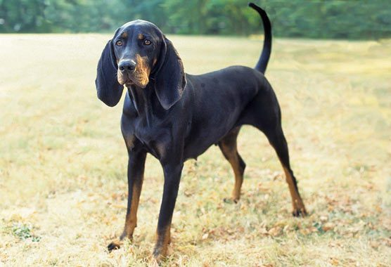 coonhound-dog-125