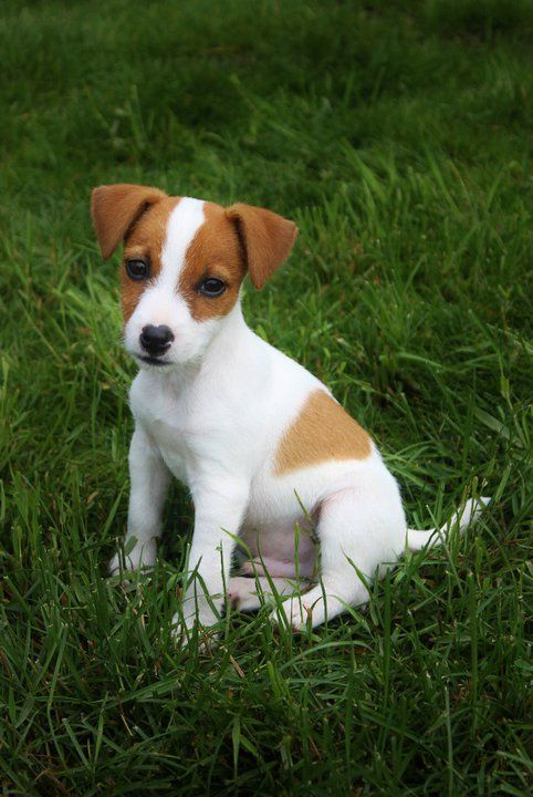 jack-russell-terrier-03