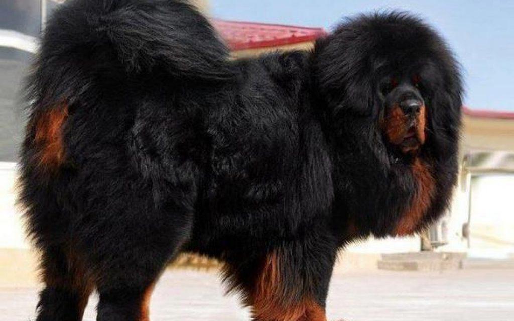 tibetan-mastiff-dog-078