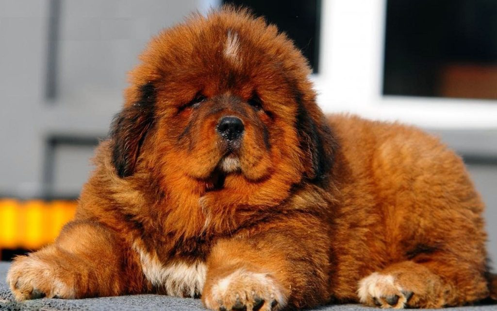 tibetan-mastiff-puppy-098