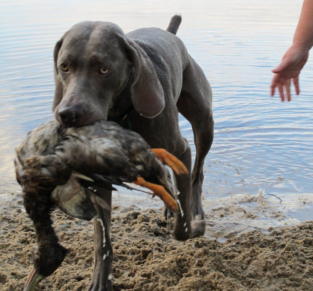 weimaraner-hunting-duck