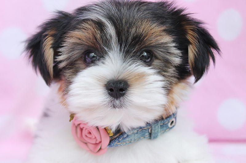 yorkshire-terrier-04