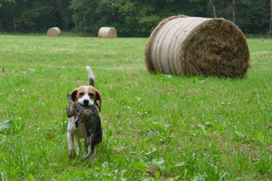 beagle-huntig-rabbit