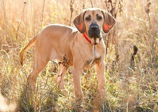 brazilian-mastiff-dog-41